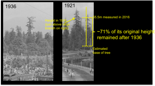 Historic big tree height