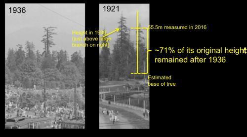 Historic big tree height