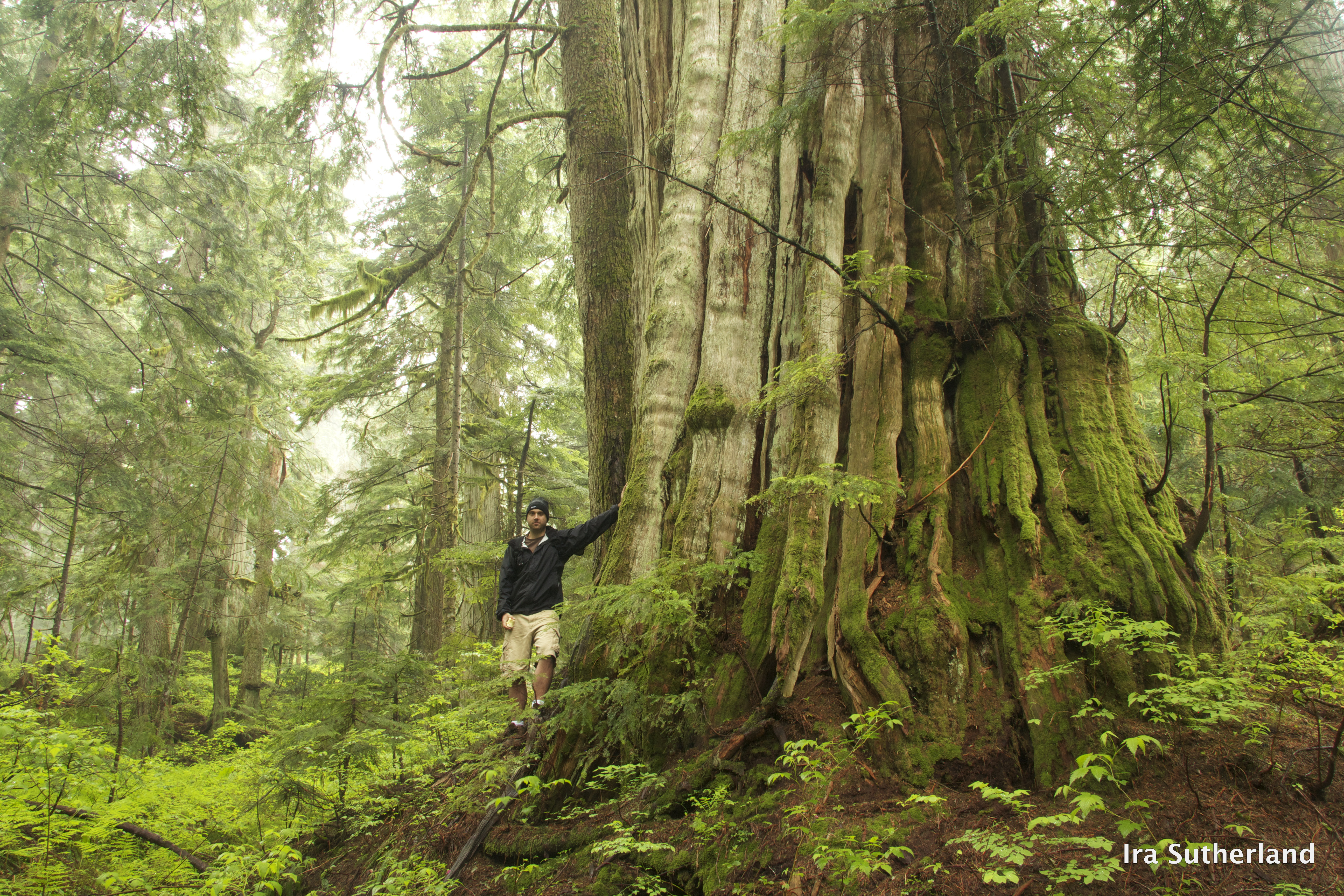 Ancient Forest Vancouver Island