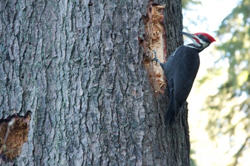 Pileated wood pecker in Stnaley Park.jpg