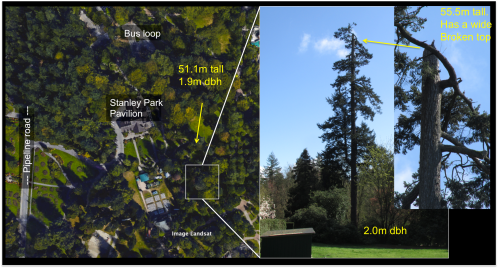 tall Doug fir by bus loop.png