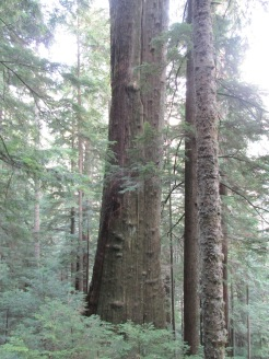 One of the larger trees we saw, but was broken off just above where photo shows