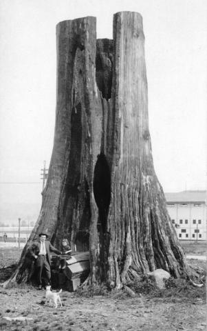 hollow stump on the Vancouver Exhibition grounds 1913